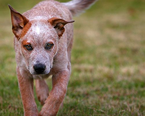 Parker At Four Months 1030 Blue Heeler Puppies Heeler Puppies