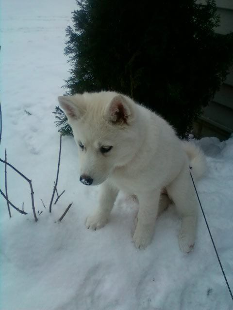 Lily The Siberian Husky Puppy Tips On How To Animal Secrets Of Dog