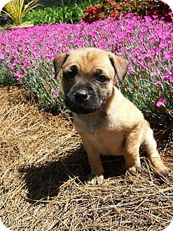 Pug Lab Mix Pets Kitten Adoption Pug Lab Mix