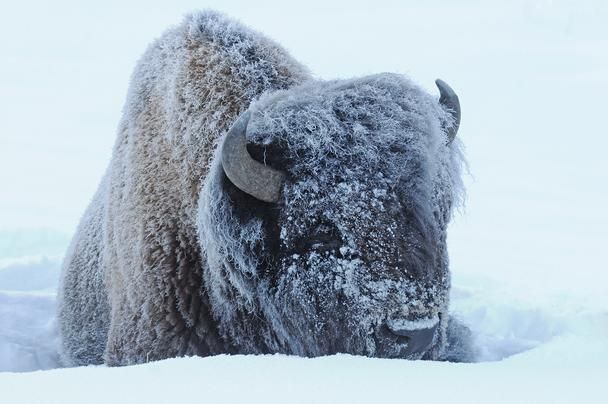 Yellowstone-in-Winter (With images) | Yellowstone, Nature ...