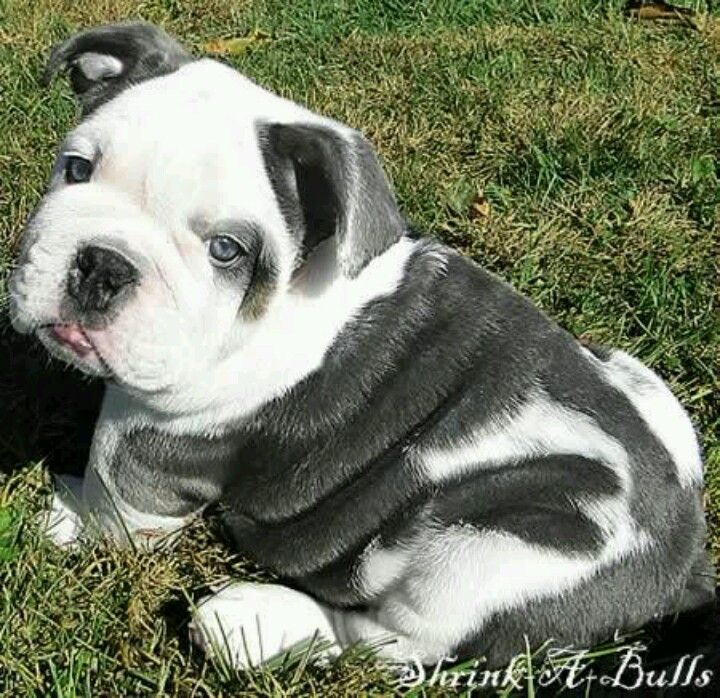 Mine All Mine English Bulldog Puppies Bulldog Puppies Bulldog