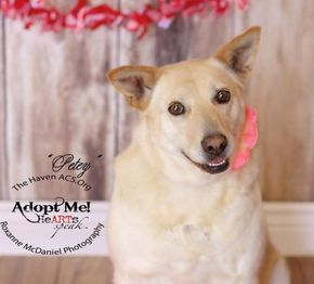 Adopt Petey On Adoption Labrador Retriever Dog Adoption