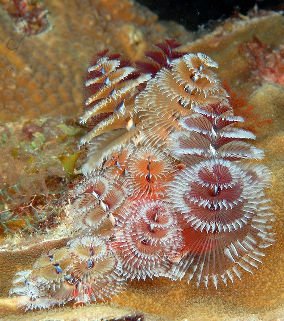 Christmas Tree Worm Forest Ocean Creatures Sea And Ocean Ocean Animals