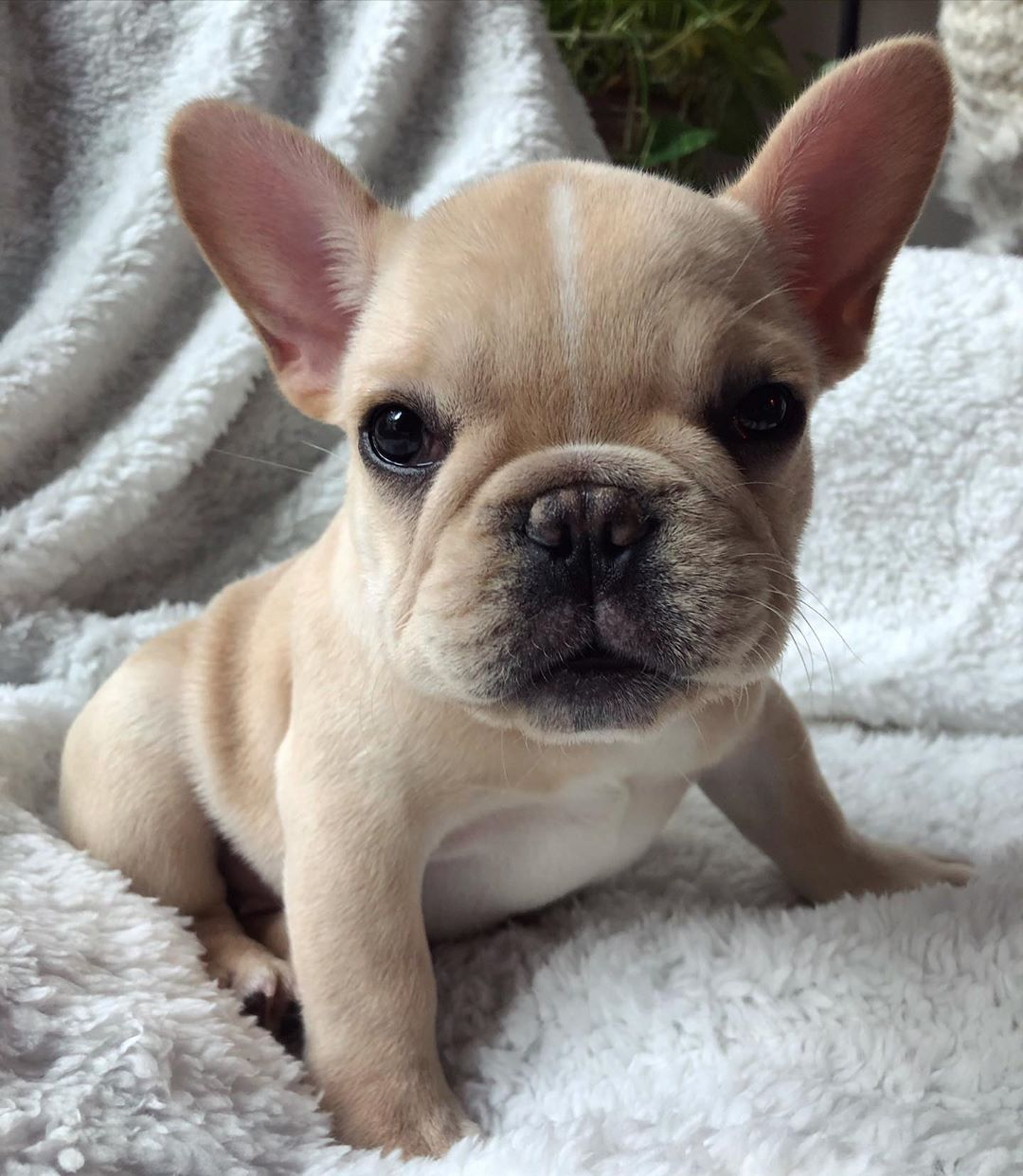 Why Are You So Cute They Say Marbella Marbellathefrenchie