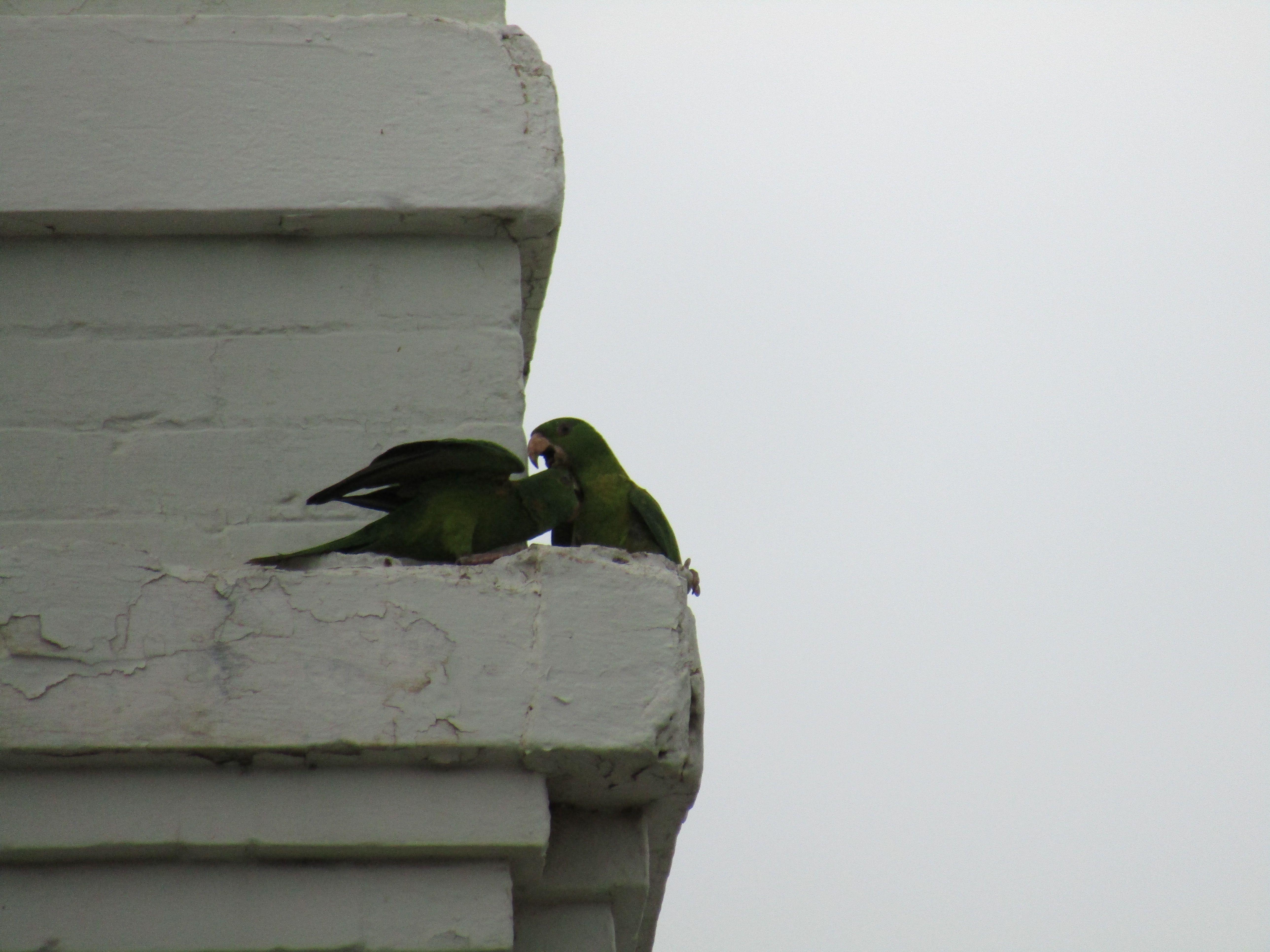 Parrots in love in downtown laredo laredo texas el
