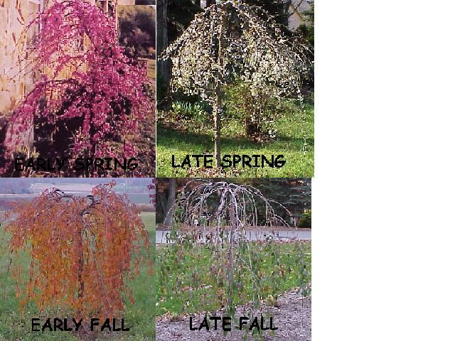 Dwarf Weeping Cherry Tree Gonna Have A Couple Of These At Least Weeping Cherry Tree Tree Flowering Trees