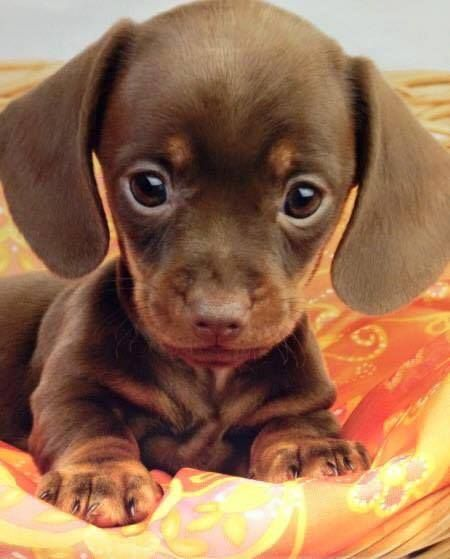 Puppy Love Stuffed Animals Cho Pup Dachshunds
