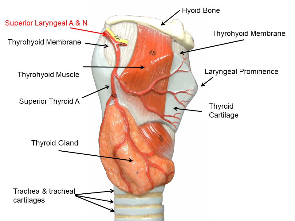 Image Showing The Right Lateral View Of The Larynx Small Trachea