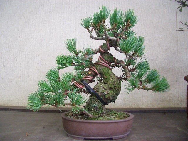 52 Jpg 640 480 Bonsai Plants Bonsai Tree Care Bonsai Styles