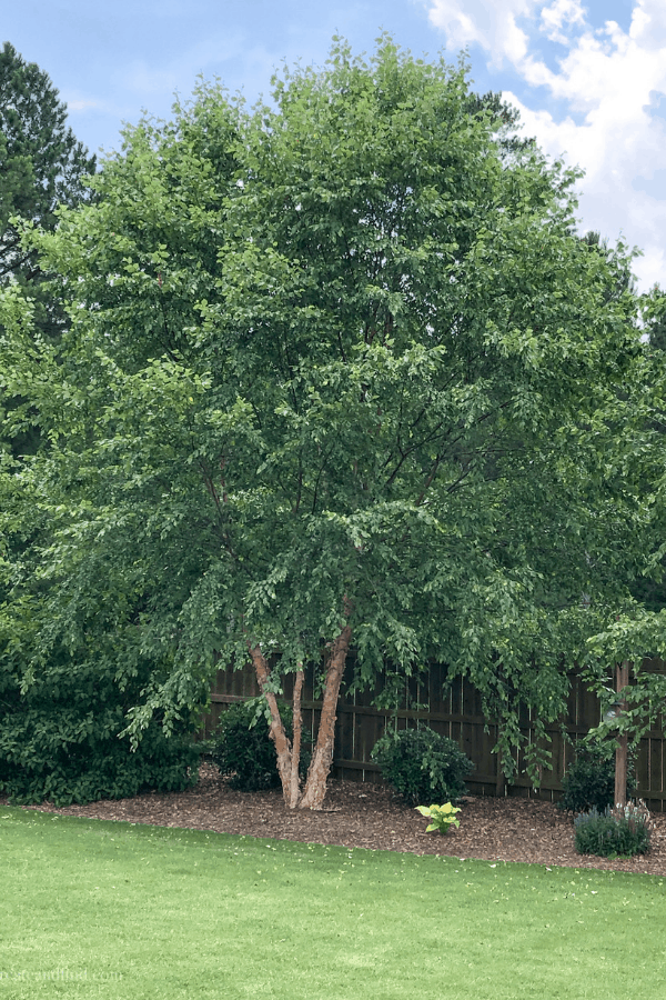 Fast growing privacy trees you can plant for quick growing shade and shelter. These varieties will transform a bare landscape into privacy trees in no time #privacytrees #fastgrowingtrees #trees #planting