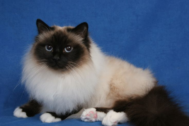birman cat Birman cat, Birman kittens, Birman cats for sale