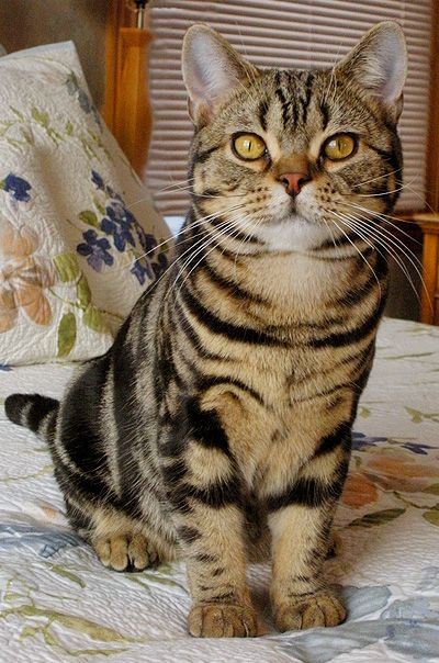 Brown Tabby American Shorthair Cat Breeds Best Cat Breeds