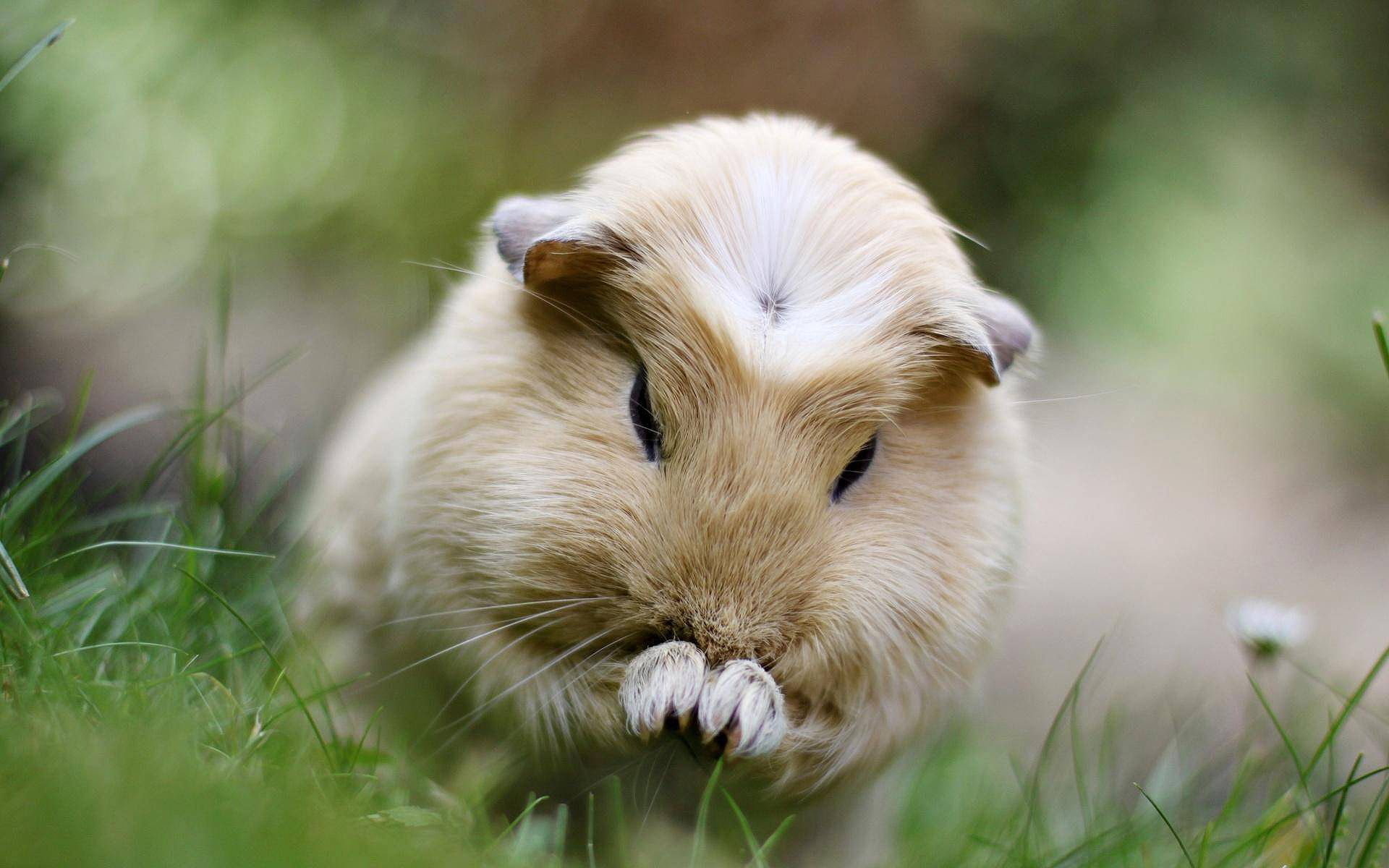 72 Cute and Funny Guinea Pig Names | Funny pets, Animal pics and ...