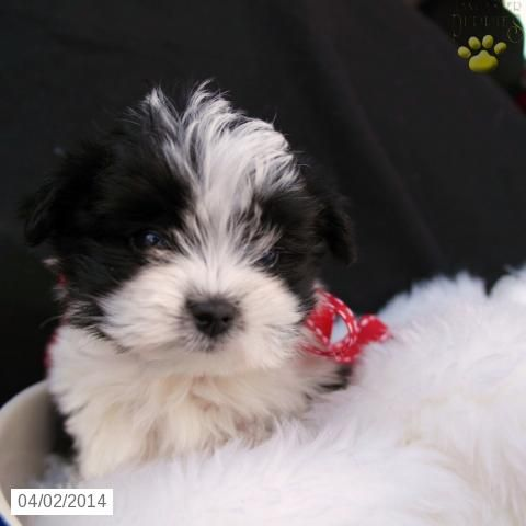 Morkie Puppy for Sale in Ohio 625 Cute critters