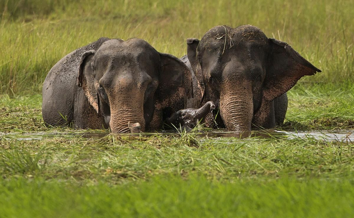 A baby elephant plays as a herd of wild elephants, from a nearby hill of India's northeastern Meghalaya state, eat grass in the wetlands of Telalia, on the outskirts of Gauhati, India, Sept. 15.