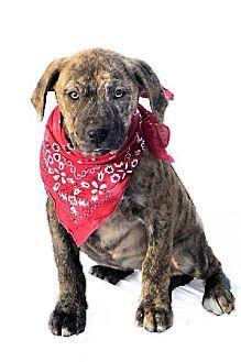 Louisville Ky Mastiff American Bulldog Mix Meet Preston A
