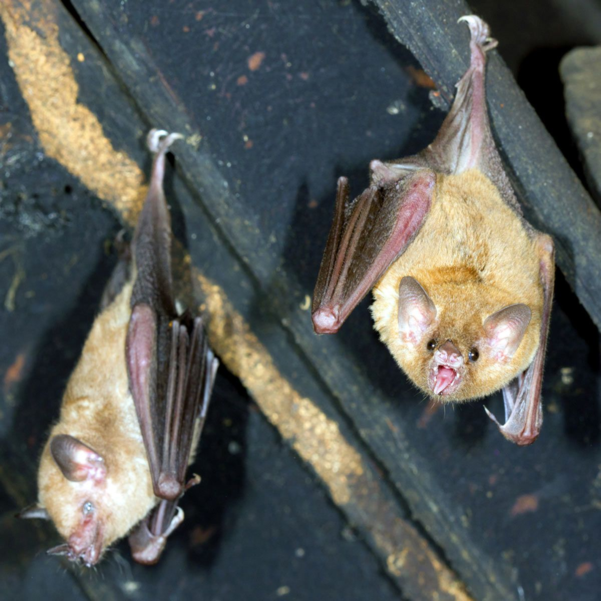How To Get Rid Of Bats In Your Attic Getting Rid Of Bats Pest Control Bats In Attic