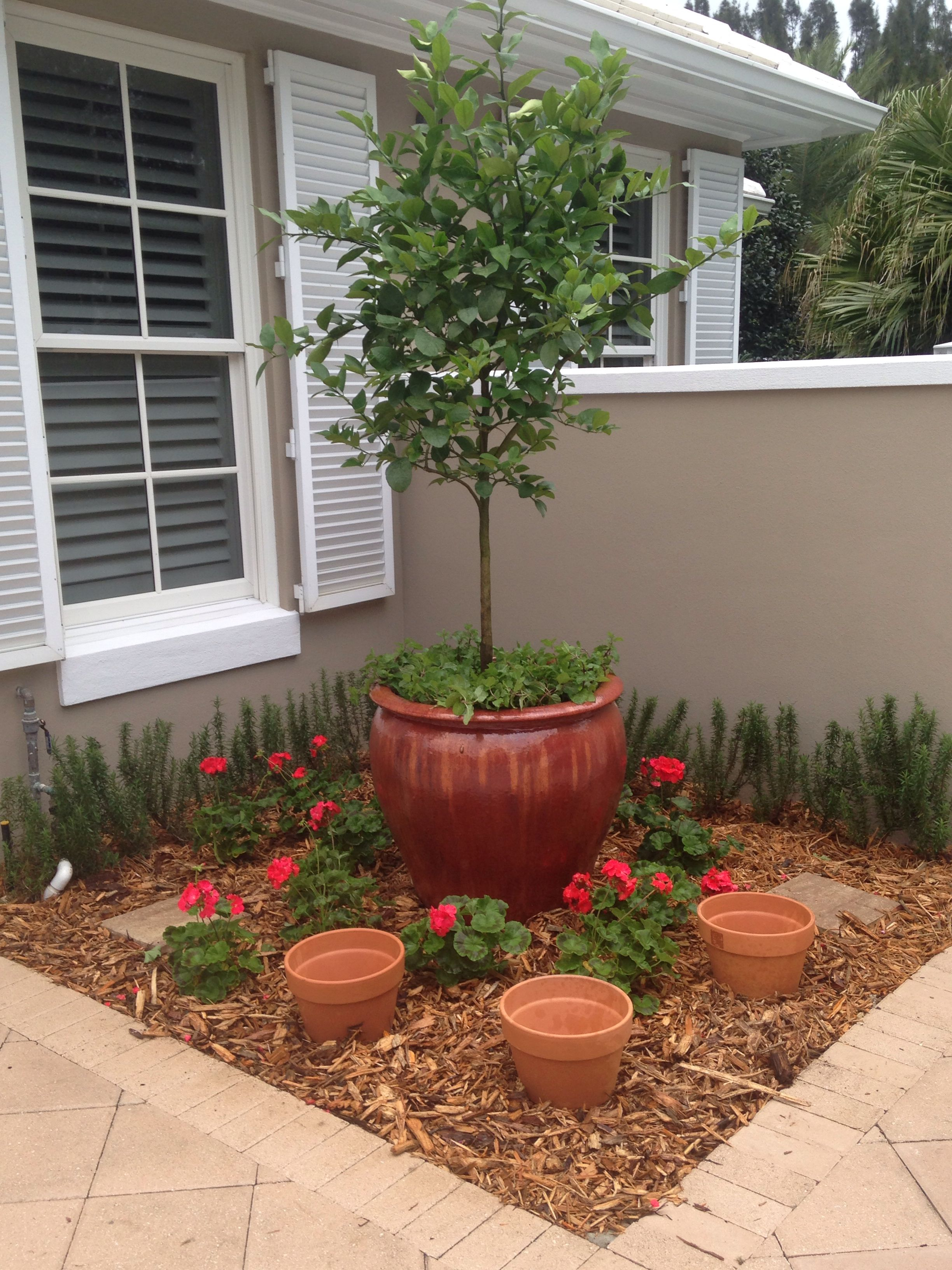 Lemon tree with mint, pots of herbs, rosemary hedge \u0026 geraniums ...