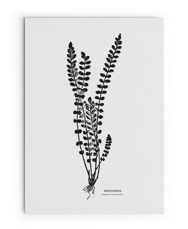 Botanical Print Bergspring Plant Spleenwort Fern Poster Black