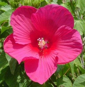 Flare Rose Mallow Hibiscus Texas Garden Patio Hibiscus Texas
