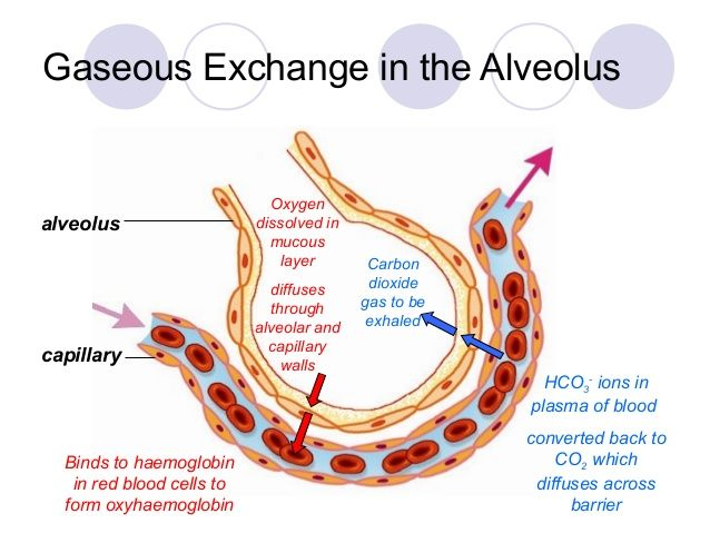 Alveoli And Blood Capillaries Google Search Res Pinterest Blood