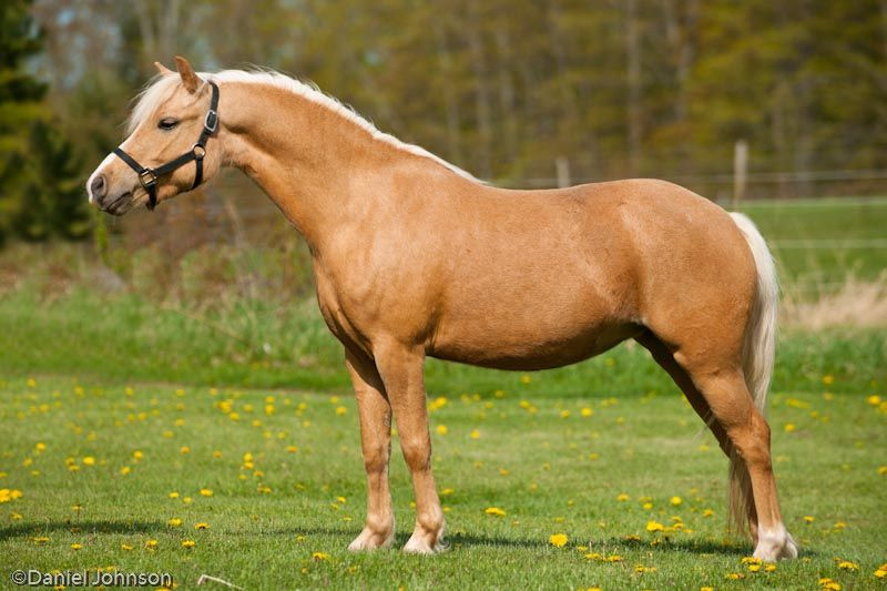 Welsh Pony Sec A Welsh Mountain Pony Mares at Miracle Welsh - best of welsh pony coloring pages