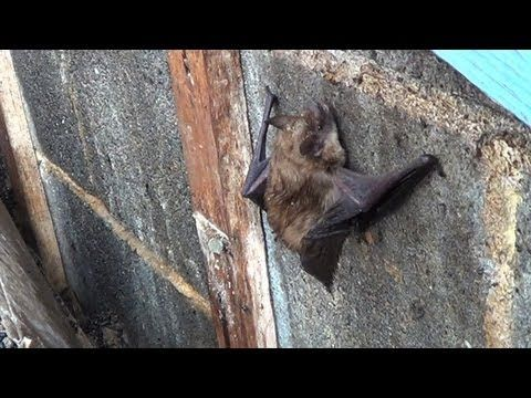 Bats In The Attic Humane Wildlife Services Can Help Getting Rid Of Bats Pest Control Mice Humane Society