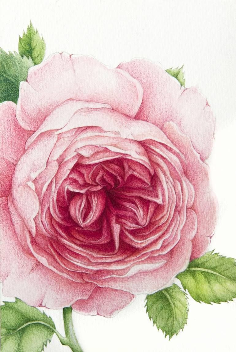 David Austin Rose Painting バラ イラスト バラ イラスト