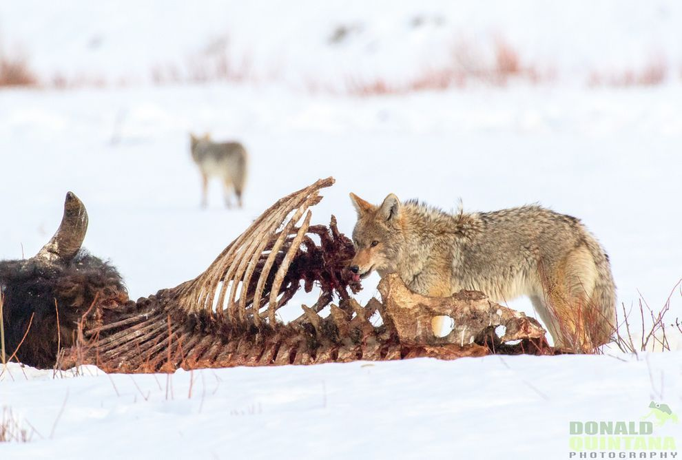 Coyotes play an important role in an ecosystem not only as a key predator of rodents but also as scavengers.