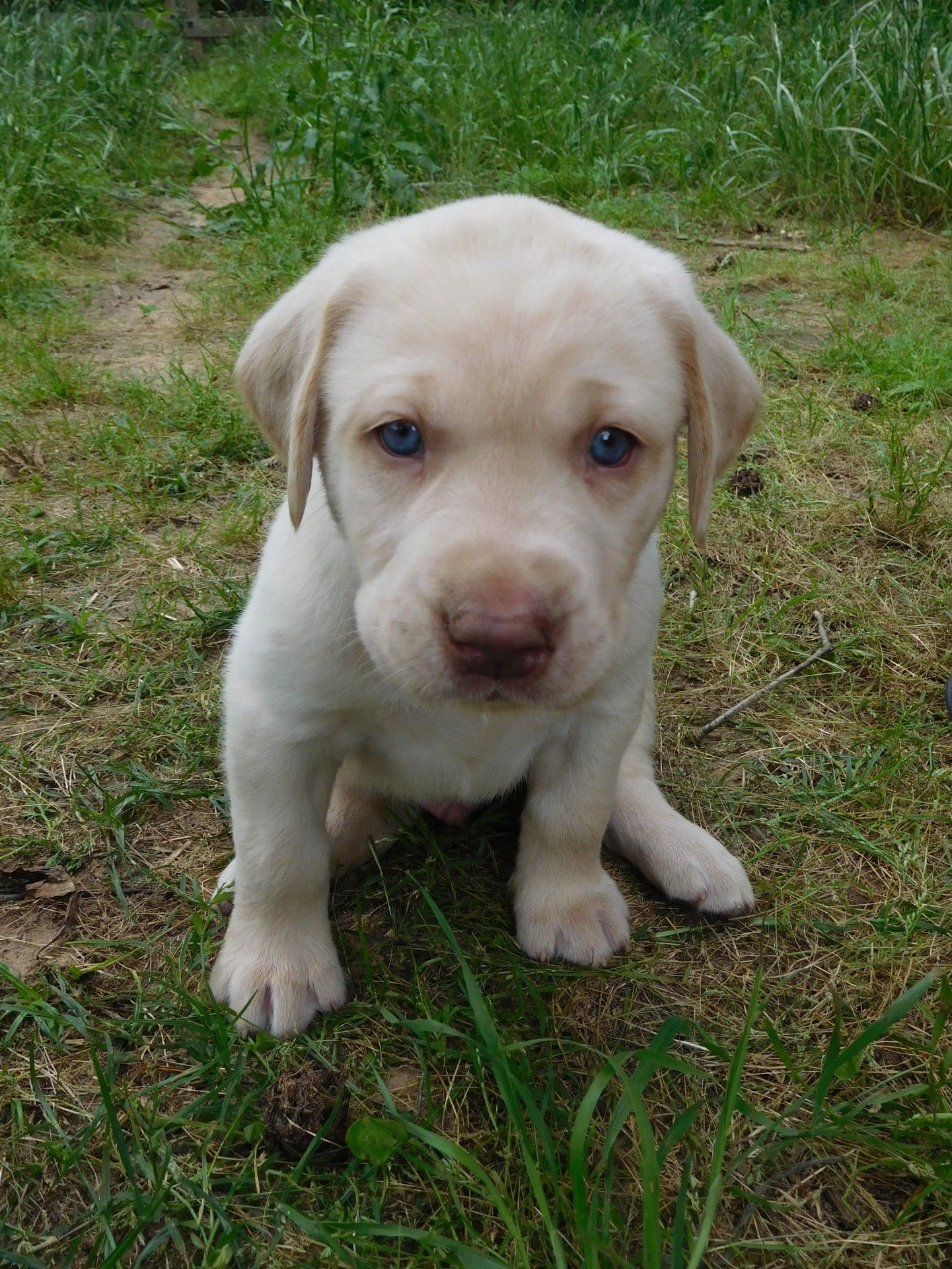The Labrador Retriever Also Known As Simply Labrador Or Lab Is One Of Several Kinds Of Retriever White Labrador Labrador Retriever Puppies Labrador Retriever