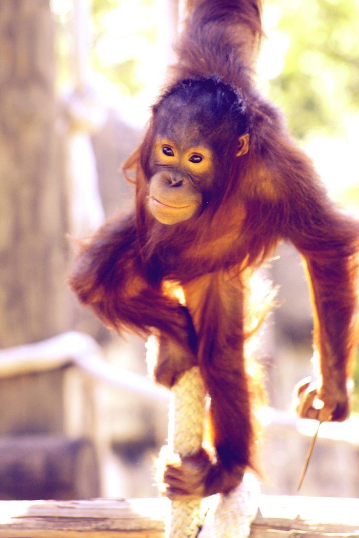 شوف صور جديده صوره القرد Baby Orangutan Orangutan African Animals