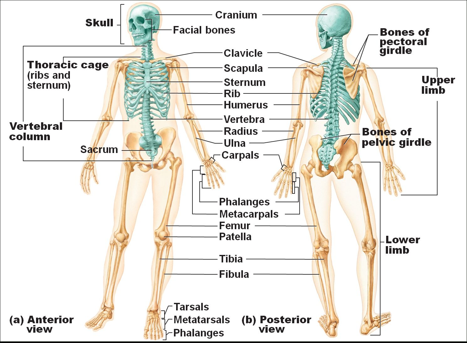 Image result for axial skeleton anatomy labeled | Anatomy and ...