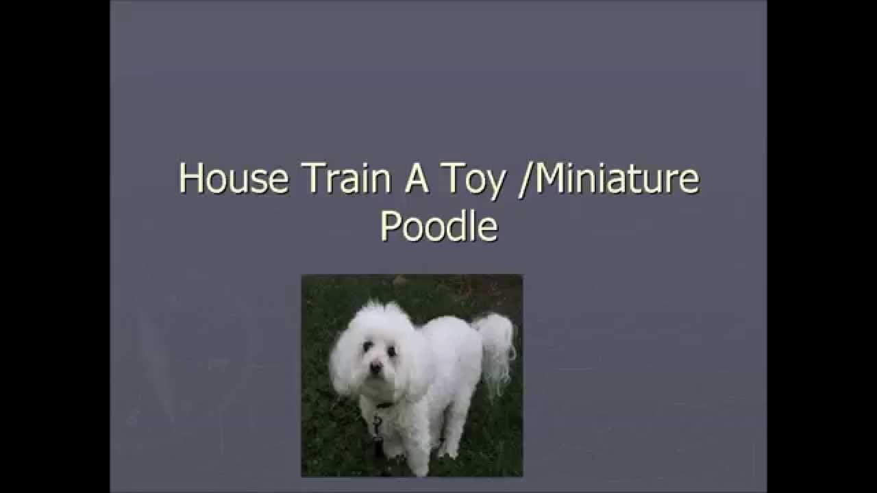 How To Potty Train A Toy Miniature Poodle Free Puppy Potty