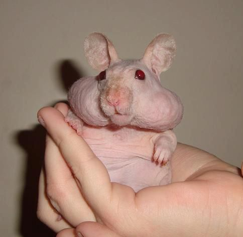 Can You Recognize These 7 Hairless Animals Hairless Animals Animals Hamster