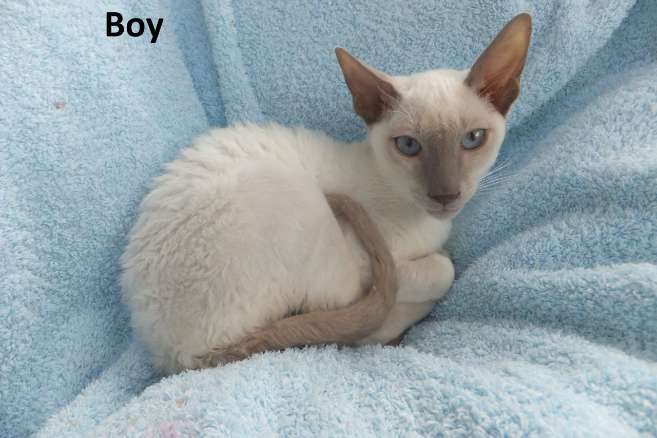 British Cornish Rex Kittens The Cornish Rex Cat Has No Hair Except For Down Most Breeds Of Cat Have Three Different Rex Cat Cornish Rex Kitten Cornish Rex