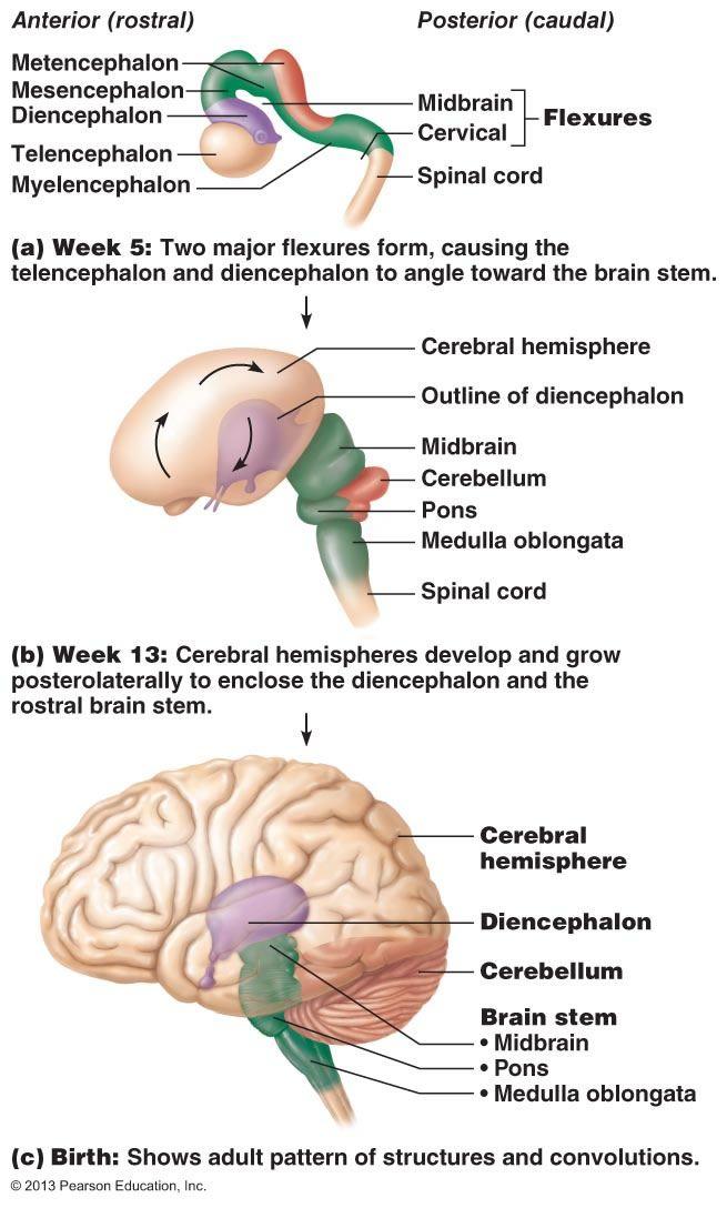 The Central Nervous System Central Nervous System Nervous System Nervous