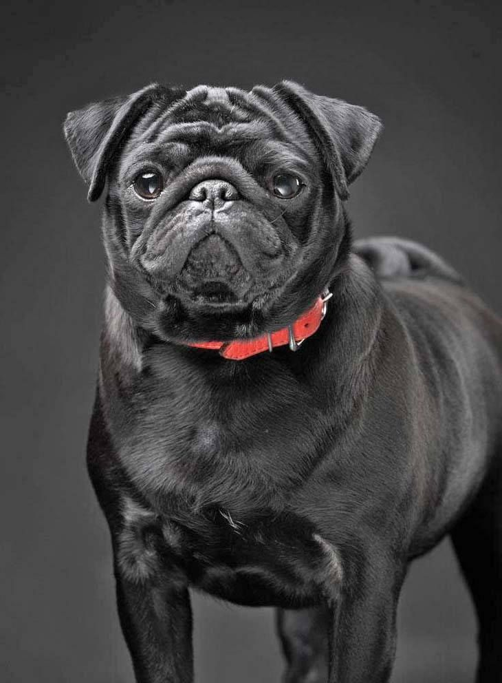 Pug Names For The One Of A Kind Male Or Female Black pug