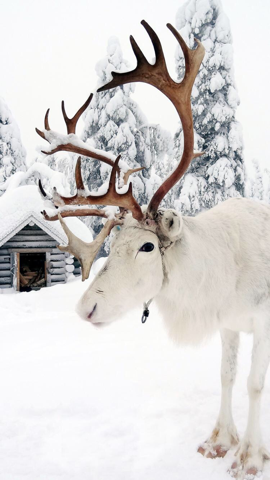 White Reindeer Wallpaper For Iphone And Android Winter Photography Winter Wonderland Winter Wonder