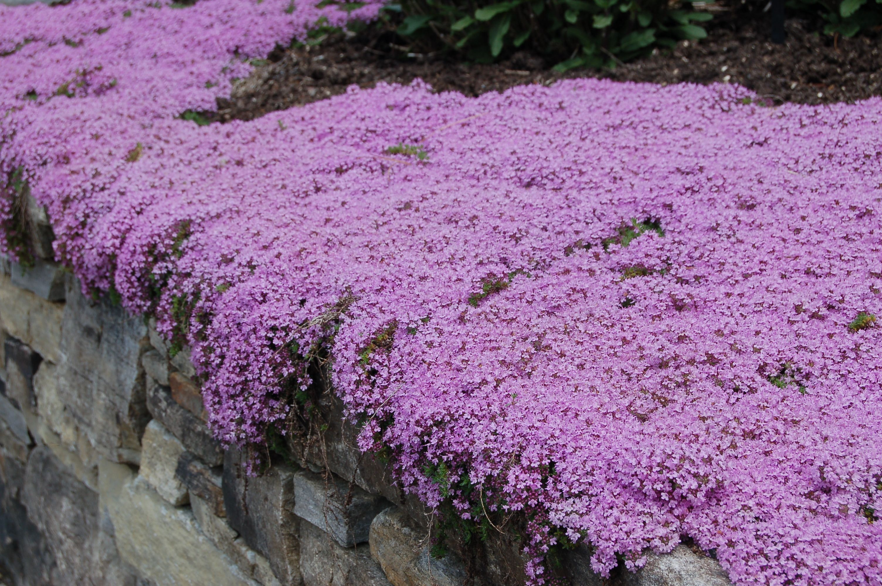 Creeping Thyme: It Creeps, It Covers, It Conquers | Ground ...