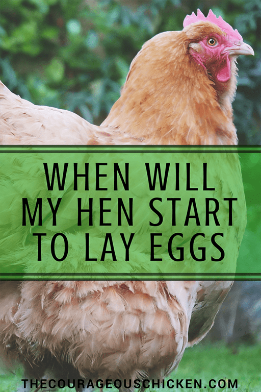 40++ When will chickens start laying eggs ideas