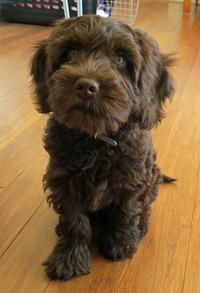 Oscar The Labradoodle Puppies Daily Puppy Labradoodle Puppy