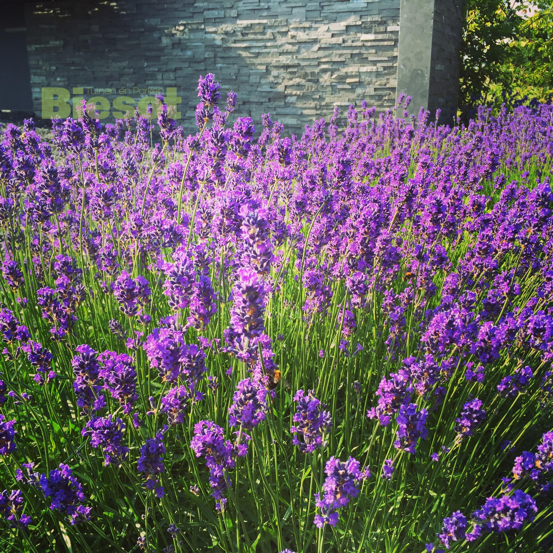 #colorexplosion #lavendel