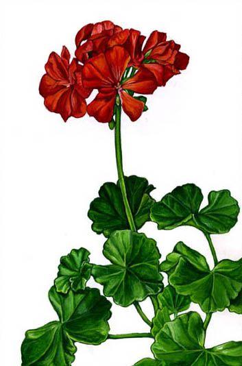 geranium flower drawing - photo #9