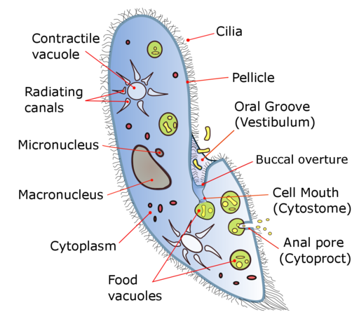 Paramecium Classification Structure Function And Characteristics Nutrition Facts Label Human Body Organs Nutrition
