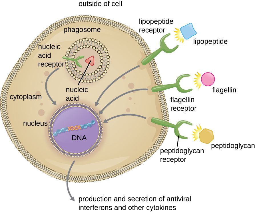 A Cell With Three Receptors The Lipopeptide Receptor Binds