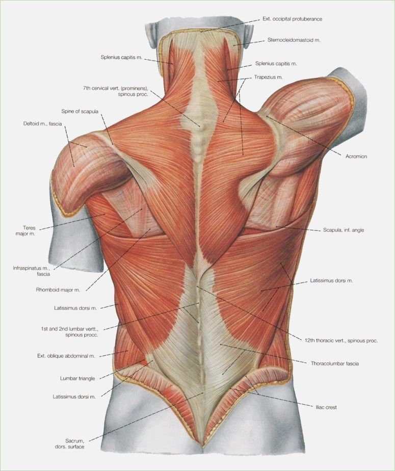 Image Result For Upper Body Anatomy Body Pinterest Body