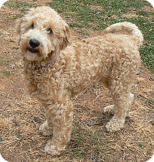 Adopt a Pet :: Trace Adkins - Spartanburg, SC - Poodle (Standard)/Golden Retriever Mix