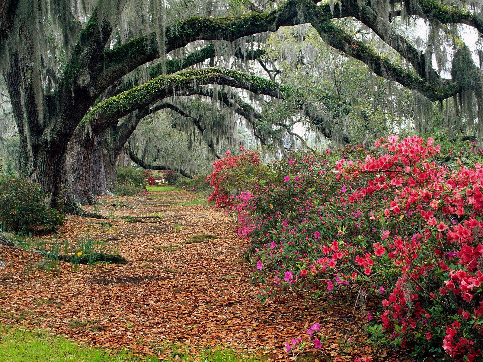 live oaks in louisiana Beautiful nature wallpaper
