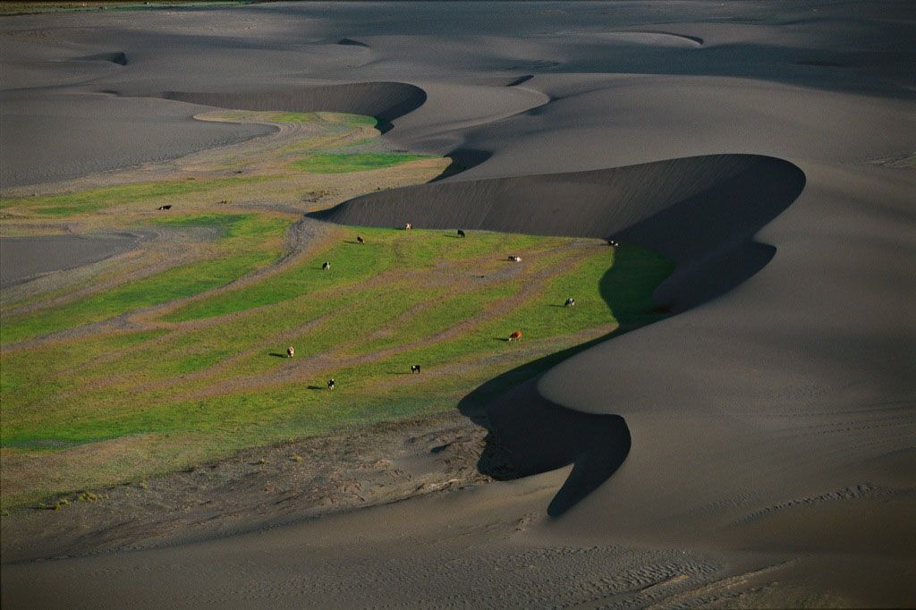 Dairy cows passing between dunes, Maule province, Chile. Source: YannArthusBertrand.org