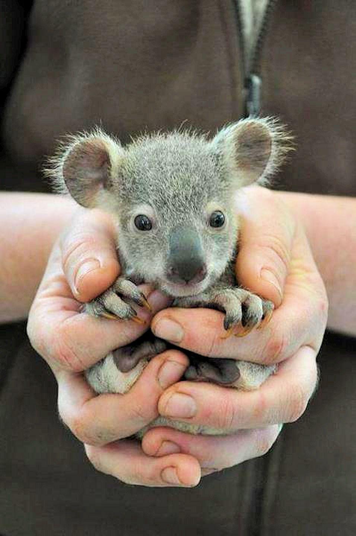 Bebe Koala